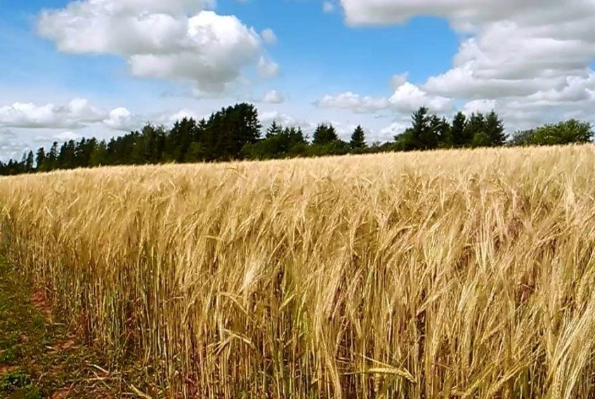 A farm in Cormack will be growing cerveza malting barley in a partnership with the provincial government.