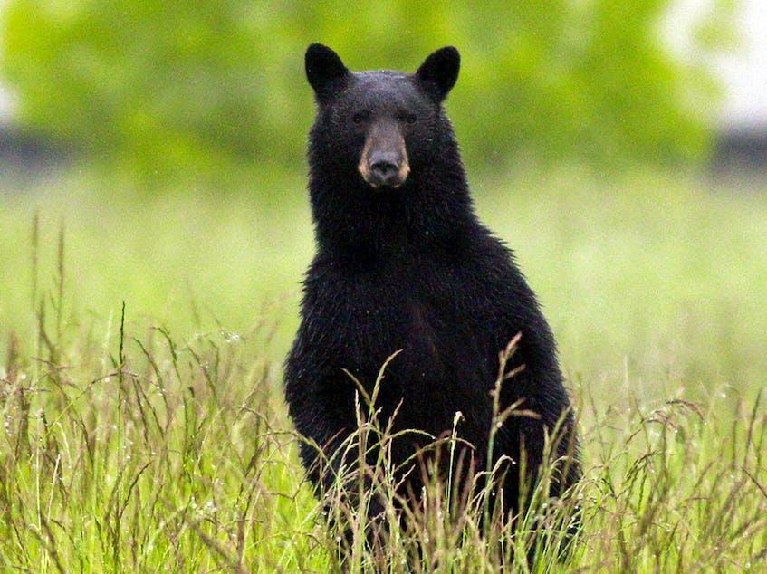 A black bear. - Postmedia  Archives
