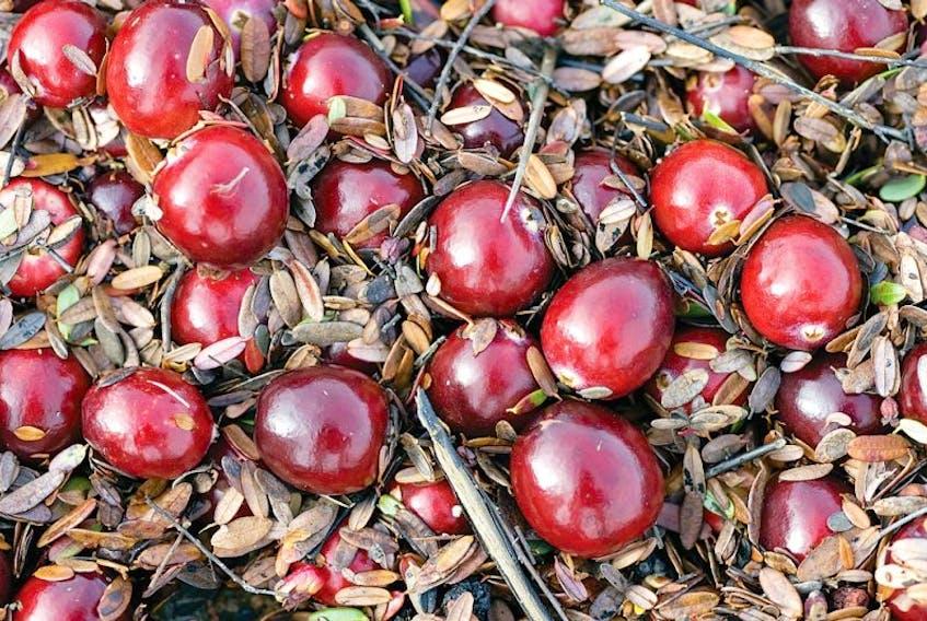 Ripe cranberries at harvest.