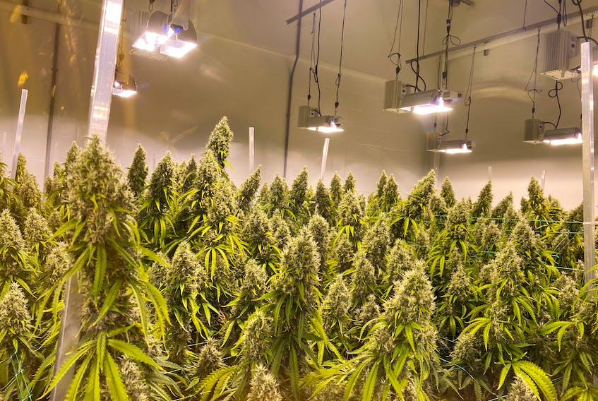 Vinland Diesel is one of the strains of cannabis BeeHigh Vital Elements Inc. is producing at its Corner Brook facility.