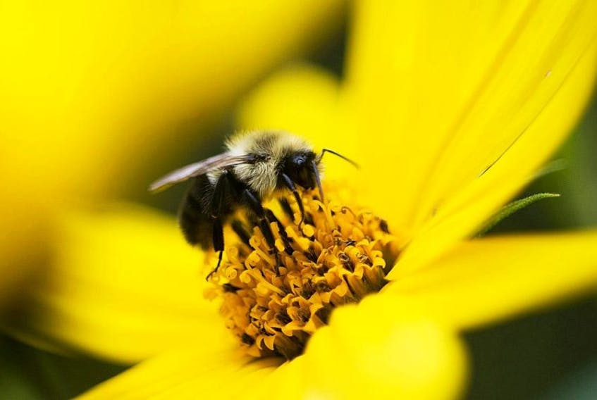 Pollinating insects like this bumble bee collecting pollen on a flower are necessary for many crops' survival and the world's food supply depends on them.