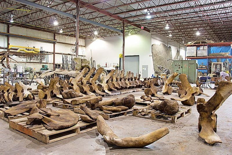 Bones from the blue whales salvaged from western Newfoundland in 2014 are assembled at a Royal Ontario Museum site in Trenton, Ont.