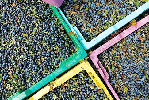 It could be another bumper year for Cumberland County's blueberry crop. That has producers worried of another year of low prices.