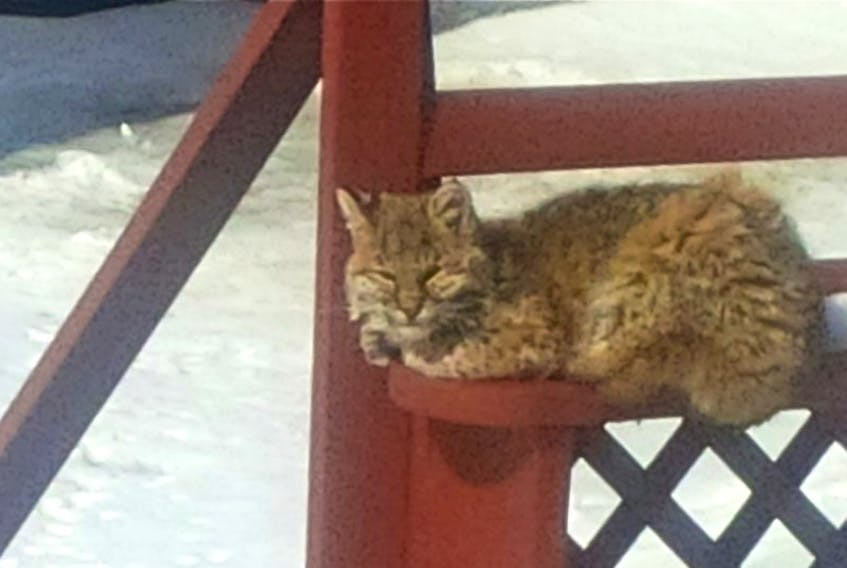 <p>A bobcat lazes on the deck of a home in Barton</p> <p>&nbsp;</p>