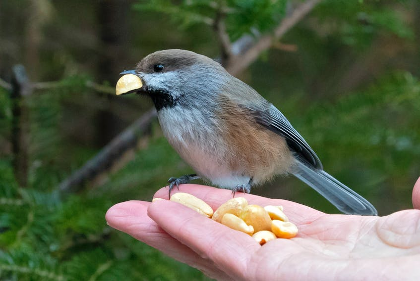 The experience of hand feeding a boreal chickadee momentarily takes you back into another world. I go to bed every night hoping when I wake up this COVID-19 thing will be gone. It ain't working. All the best to everyone. — Bruce Mactavish Photo