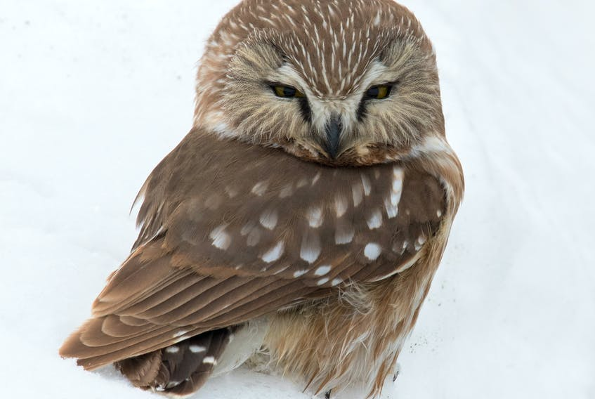 Up for the cutest bird award in Newfoundland and Labrador? This saw-whet owl at Portugal Cove South was just one of several hungry owls discovered searching for food in broad daylight. — Bruce Mactavish photo