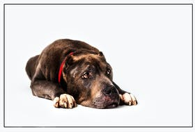 Cesar, a Cane Coso mix in palliative care at the Cape Breton SPCA. The SPCA's foster/palliative care program sees the animal go to a loving home but still owned by the SPCA, which looks after all the animal's medical needs. CONTRIBUTED/SHAUNA MADDEN