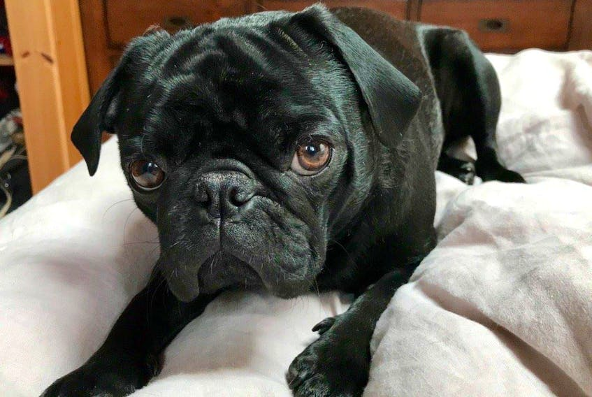 Gus the Pug is feeling better after being at the vet with suspected marijuana toxicity.