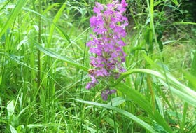 The orchis is a wild native orchid that often emerges in wild spaces. CONTRIBUTED