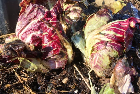 Heads of radicchio overwinter for a lovely spring garden surprise. CONTRIBUTED