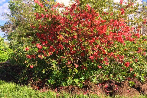 In Cape Breton, the Japanese flowering quince puts on an early show in June gardens. CONTRIBUTED
