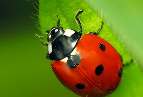 Lady bugs prey on garden pests, so are one of the gardener's allies. CONTRIBUTED