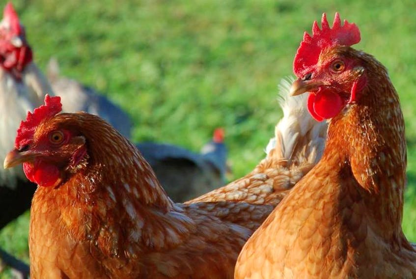 A Municipality of Shelburne bylaw enforcement officer was able to capture two of about a dozen free range chickens that were causing a problem.
