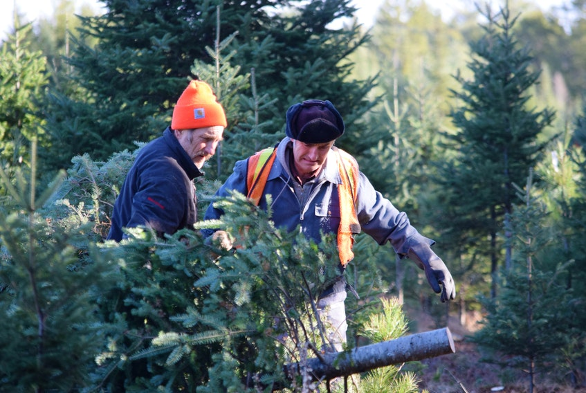 Lunenburg County Christmas tree farmers and brothers, Murray (left) and Boyd Crouse carry a just cut tree to the edge of the lot for pick-up.