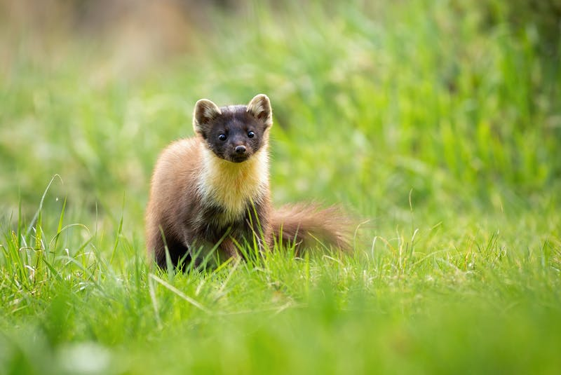 An american marten, sometimes called the pine marten. - Contributed