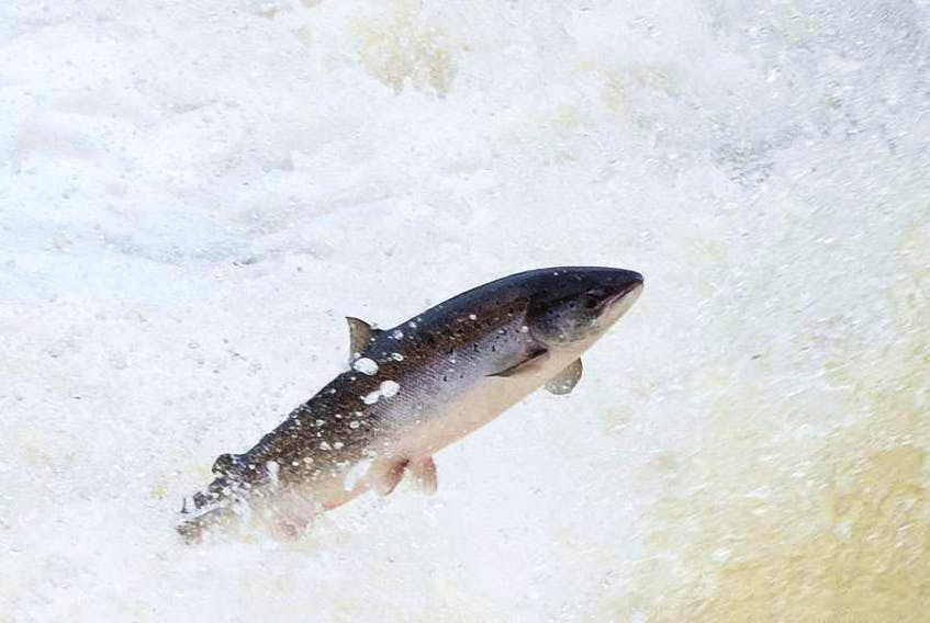 A wild Atlantic salmon leaps into Big Falls on the Humber River in Newfoundland. — Contributed photo