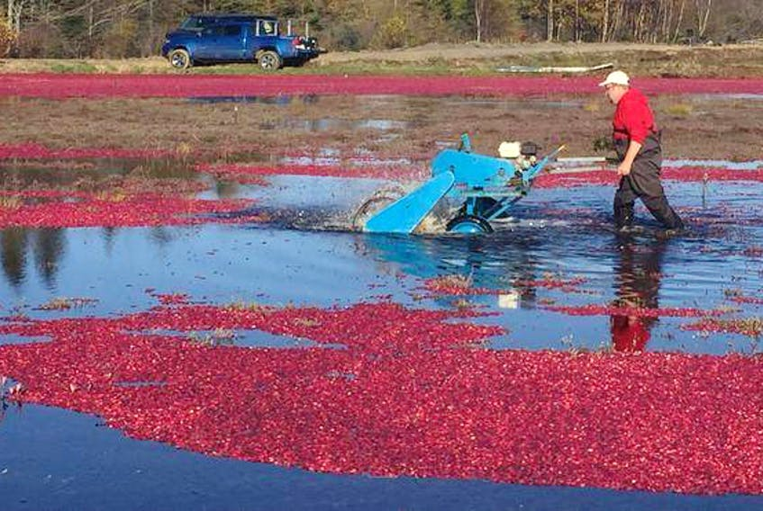 Jamie Ernst has the difficult task of lugging around a cranberry beater, removing the berries from stems underwater.