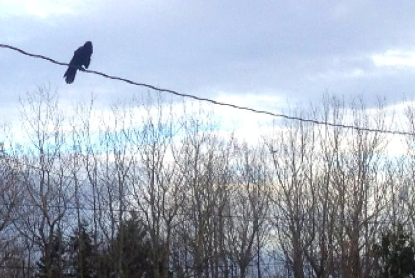 A crow keeps an eye on Monday moring in Wolfville.