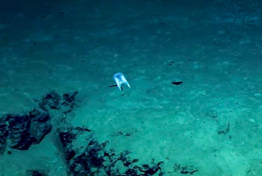 Meet Duobrachium sparksae – a strange, gelatinous species of ctenophore, encountered during a dive off the coast of Puerto Rico.
