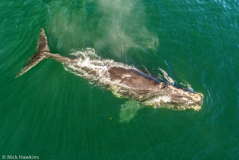 A North Atlantic right whale rests at the ocean's surface. NICK HAWKINS/Contributed