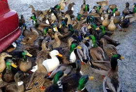 Dianne Leece says ducks in the neighbourhood have become very domesticated.  CONTRIBUTED