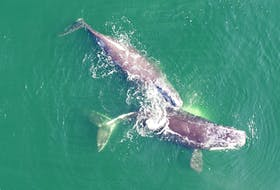 North Atlantic right whales. PHOTO COURTESY OF DFO