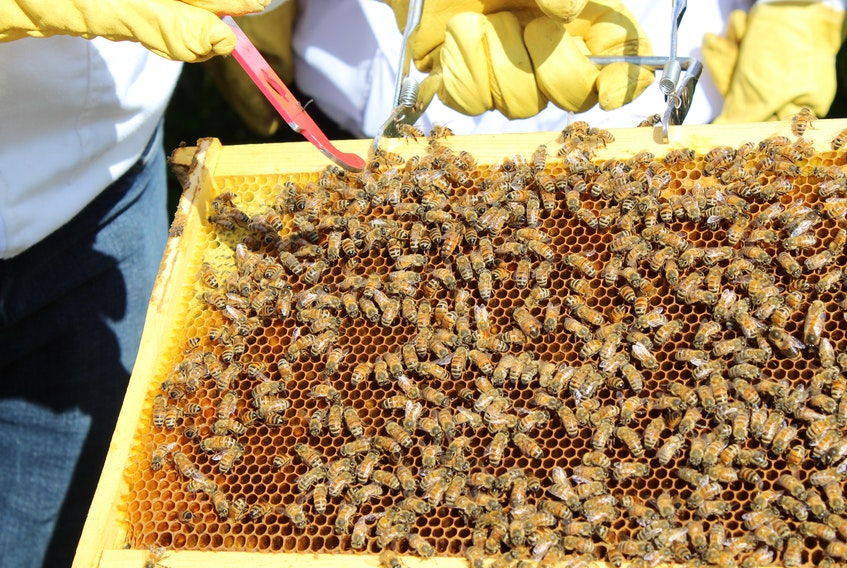 The red tool points to a queen bee in this busy honeycomb. — SALTWIRE NETWORK FILE PHOTO