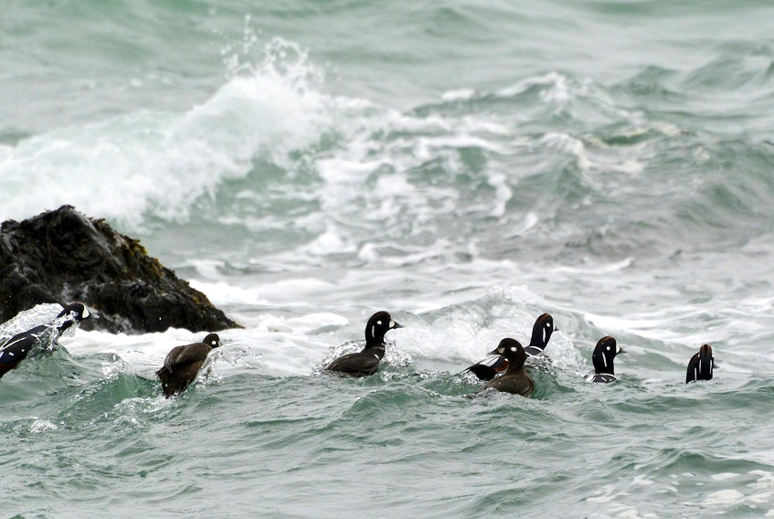 Some harlequin ducks, a threatened species of waterfowl, are seen in this photo. Contributed/Parks Canada