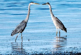 A pair of herons by the shore in Summerside, PEI.