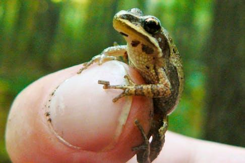 A tiny, elusive Western chorus frog.