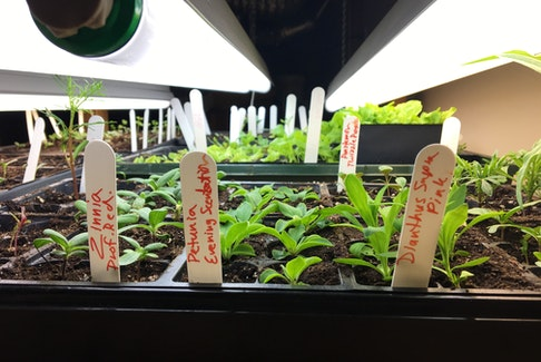Grow lights are an effective way to produce healthy, stocky seedlings for your garden. - Niki Jabbour