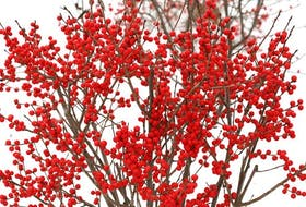 Winterberry is a deciduous native shrub with brilliant red, orange or yellow berries. Proven Winners