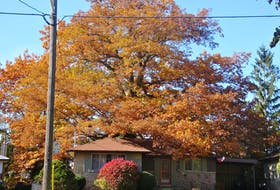 A 250-year-old red oak is the oldest tree in Toronto.