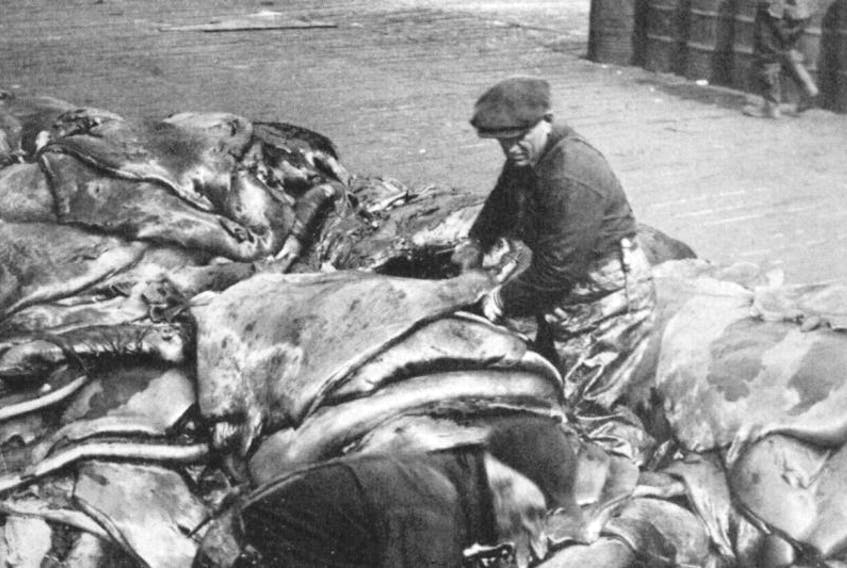 """Sorting seal pelts from the annual hunt at southside St. John's. Photograph reproduced from """"Newfoundland Album: Men Against the Ice,"""" published in Atlantic Guardian magazine, March 1951."""
