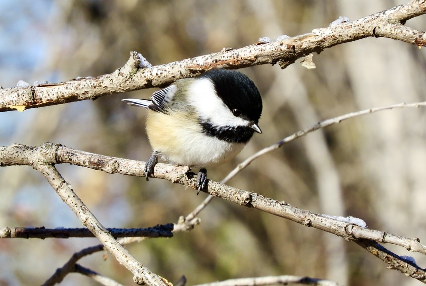 A capped Chickadee. Chickadees get their name from their song, which is unmistakable from quite a distance. Black oil sunflower seeds are best.