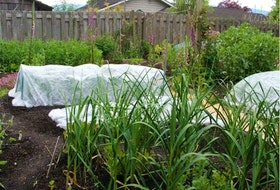 Here, garlic grows in the foreground with leeks and onions under row covers, peas in the background and broad beans to the right.