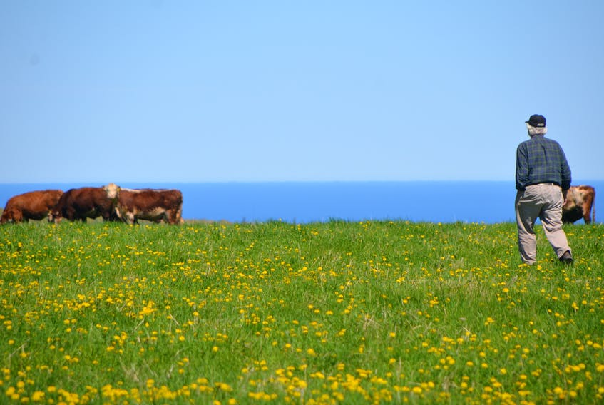 Leo Thompson,85, walks out across the Mabou Community Pasture on Tuesday to check his cattle. (AARON BESWICK PHOTO)
