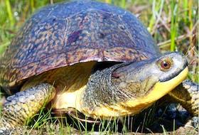 Ontario's Blanding's turtle is one of several species under threat.