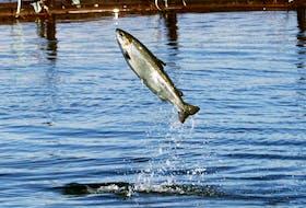 An Atlantic salmon leaps while swimming inside a farm pen.
