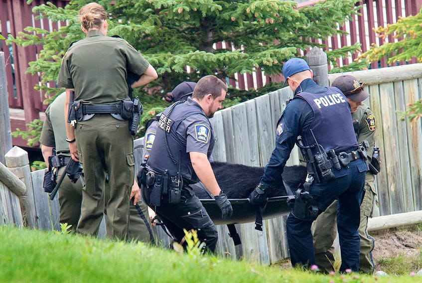 Fish and Wildlife, peace officers and RCMP carry a black bear they tranquilized to a bear culvert trap to remove it from the Peaks of Grassi neighborhood in Canmore on Saturday, August 25, 2018.
