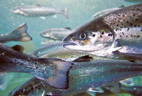 Atlantic salmon on a fish farm in B.C.