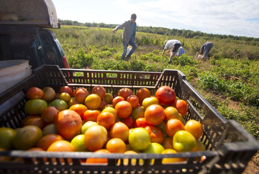 Farm workers harvest tomatoes in Kings County on Sept. 18, 2014.