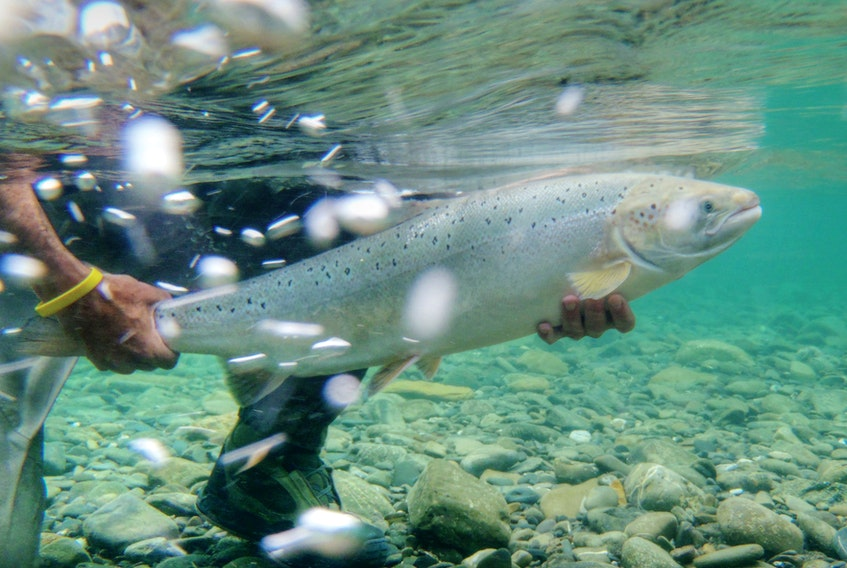 An Atlantic salmon is released on the Bonaventure River in Quebec in this undated photo. - Kelsey Taylor / Atlantic Salmon Federation