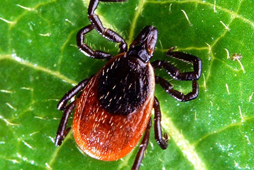 An adult deer tick.  (Scott Bauer / Agricultural Research Service / USDA)