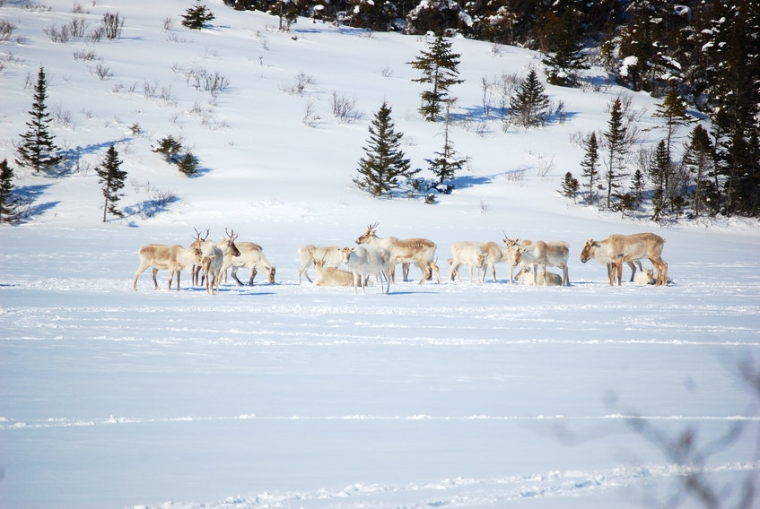 Community freezers in each of the five Labrador Inuit communities, as well as in Upper Lake Melville, will soon have a supply of caribou and muskox meat to distribute to beneficiaries of the Labrador Inuit Land Claims Agreement.
