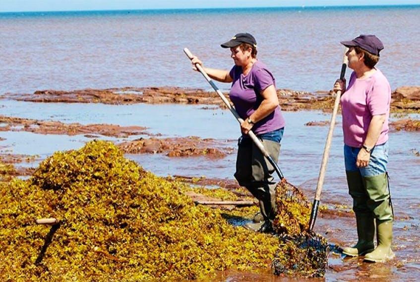 <p>Workers harvest Irish moss near Miminegash in this TC Media file photo.</p>