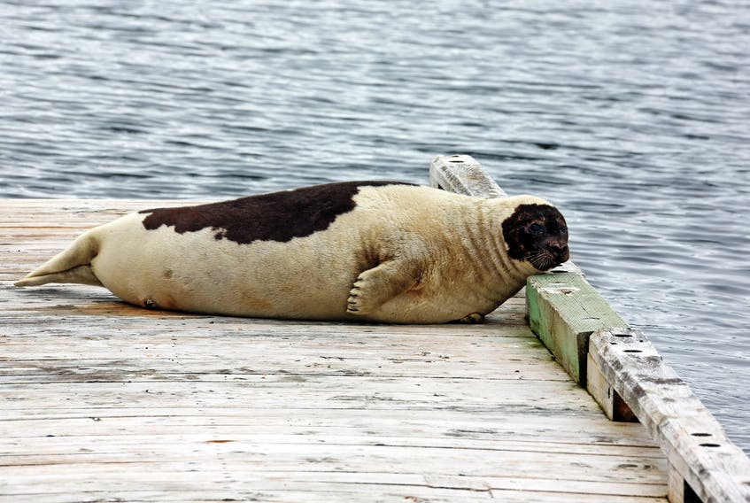 The Town of Norris Point had a visitor from the sea on Tuesday when this large harp seal spent some time relaxing on a small wharf outside the Cat Stop.  Photo by Walter Stacey