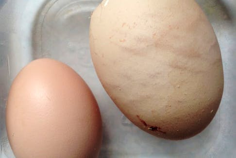 This image shows the huge egg beside a normal one.