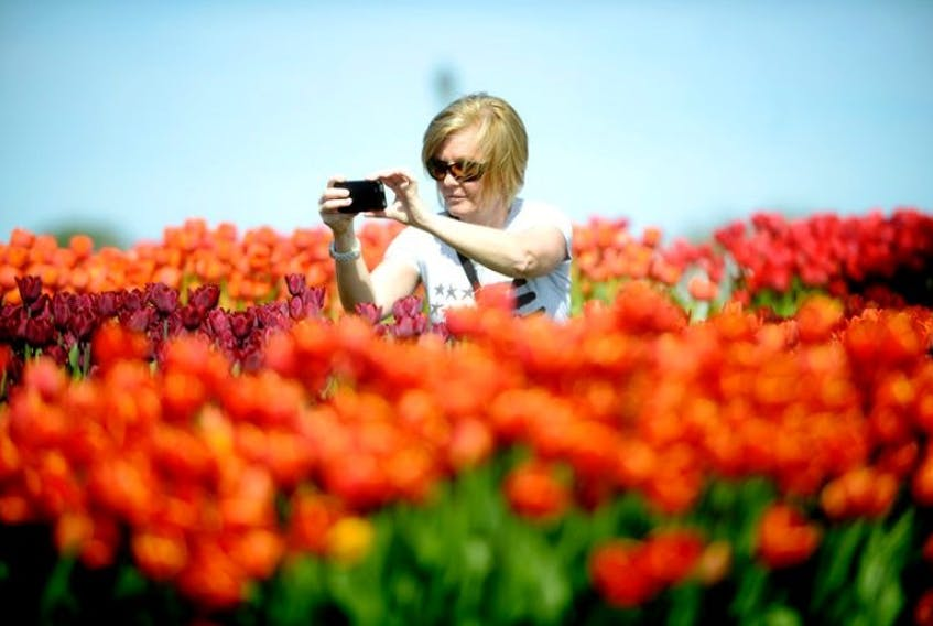 Monica Elmore snaps a cell phone photo of the 16,000 tulips for sale in Victoria Park in Charlottetown. Elmore is attending a conference in the city and is from Oklahoma.