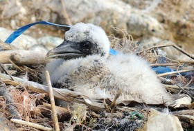 Bits of plastic are woven into a seabird's next. — Contributed photo